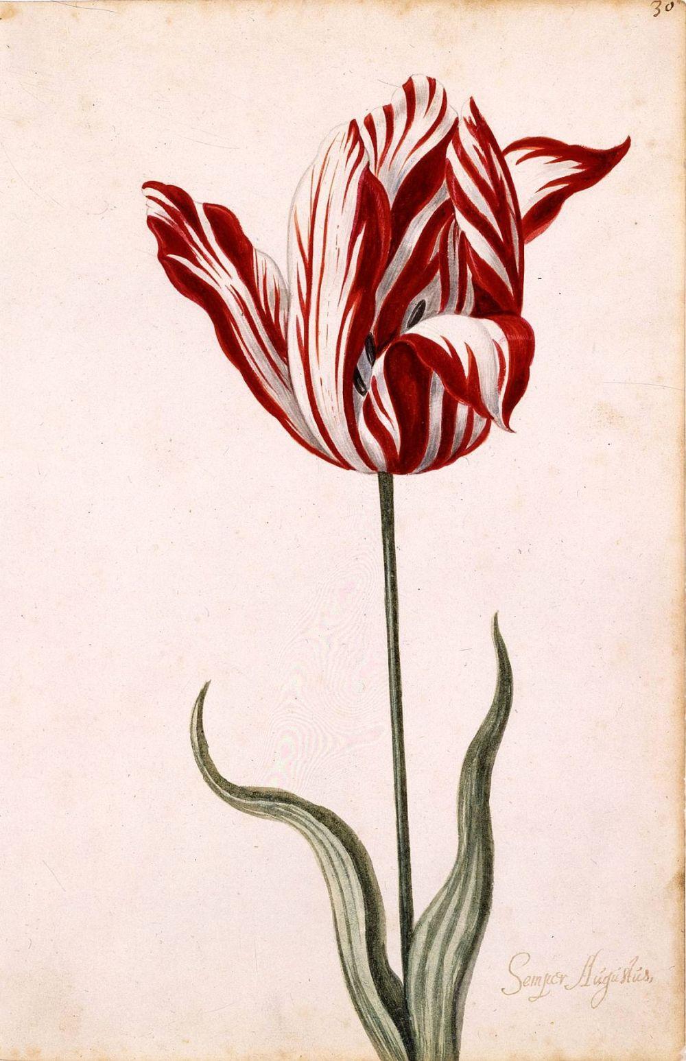 tulipe economie